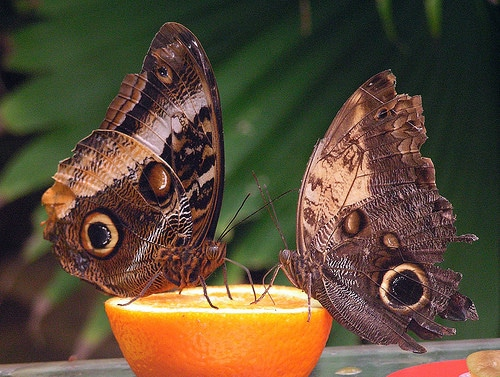 two brown butterflies