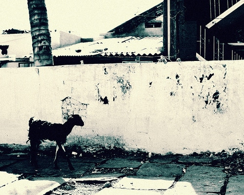walking goat in front of wall