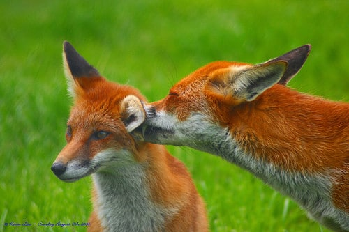 two foxes grooming