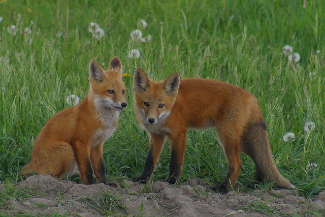 two fox kits