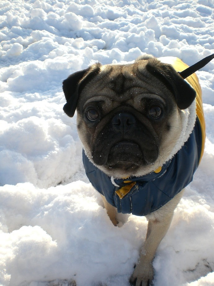 pug in winter jacket
